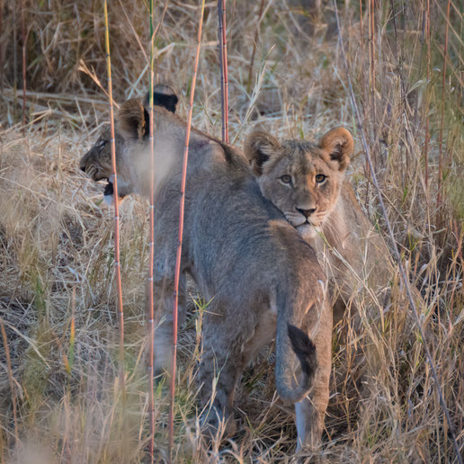 löwenbabies | game drive | karongwe private game reserve | südafrika