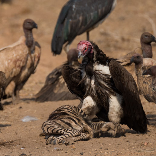 geier | game drive | kapama private game reserve | südafrika