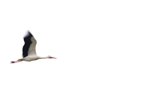 Weissstorch, Sebastian Vogel, naturfotografie, vogelfoto