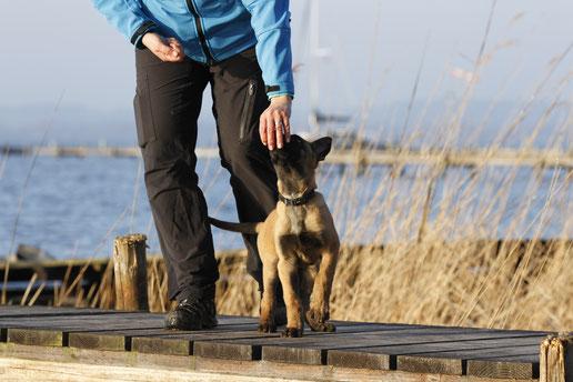 Seminare für Hundehalter:  Zu sehen ist eine Basis-Gehorsamsübung von einem 15 Wochen alten Malinois-Welpen!