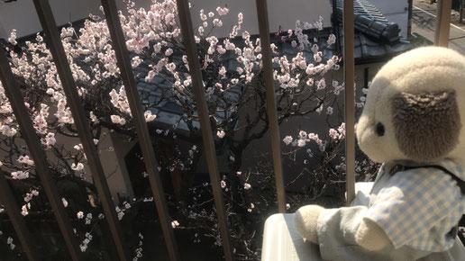 自宅二階のベランダから梅見。一週間前の写真です。今はもうほとんど散りました。