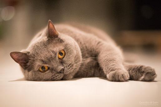liegende Katze, Indoor fotografiert bei available light