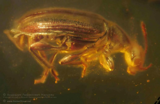 Inclusion in amber:  Coleoptera, Anthicidae