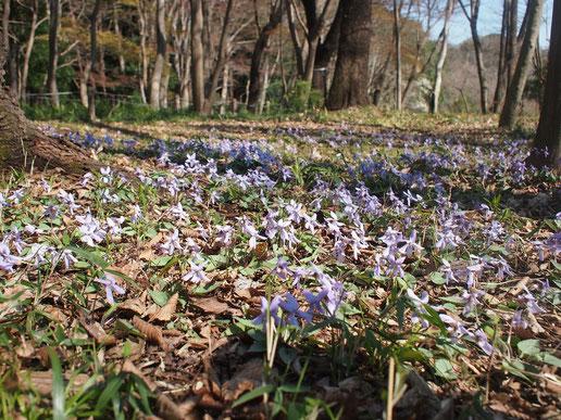 3月18日(2015) 野の花一輪:キクザキイチゲ(菊咲一華)、キンポウゲ科の一輪草、スプリング・エフェメラルの一種:3月14日に神代植物公園の山野草園で撮影