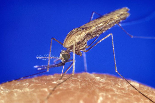 Malaria Stechmücke (Moskito)