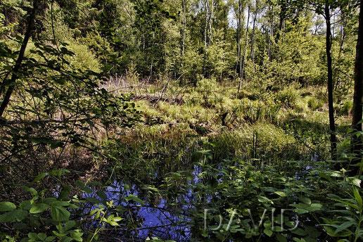 Bruchwald in der Wahner Heide