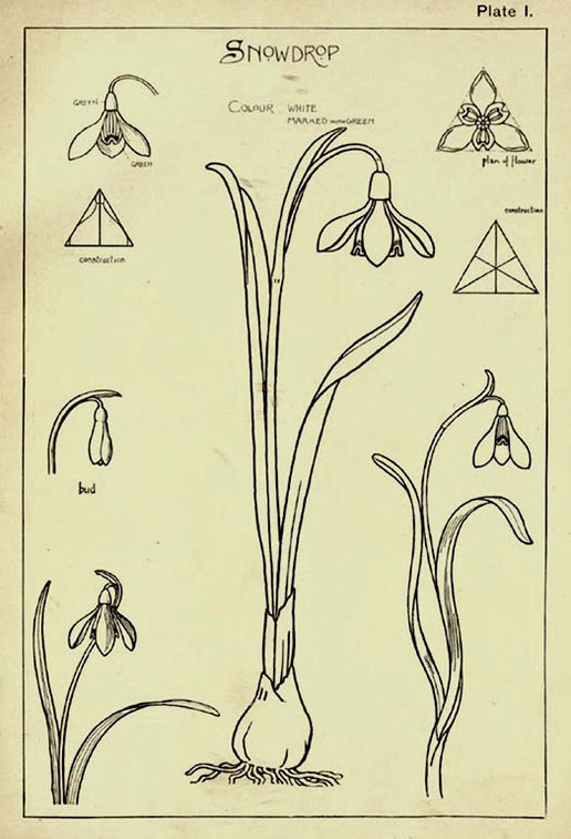 Snowdrop, plate I from Nature drawing and design, by Frank Steeley, London, 1904