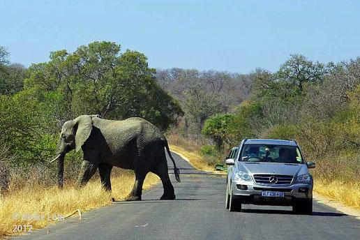 Ein Elefant überquert die Straße im Kruger Nationalpark