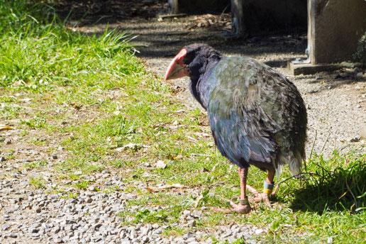 Takahe in Zealandia