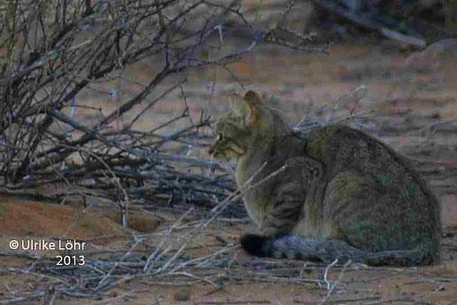 Afrikanische Wildkatze im Kgalagadi Transfrontier Park