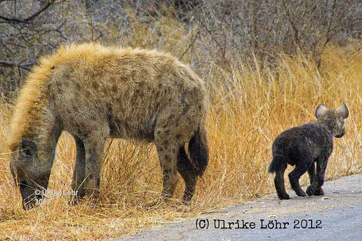 Tüpfelhyänen im Kruger Nationalpark