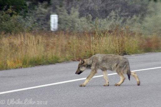 Kojote am Icefields Parkway