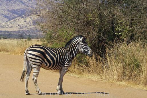 Zebra im Pilanesberg Nationalpark