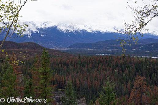 Von Bergkiefernkäfern befallene Wälder rund um Jasper