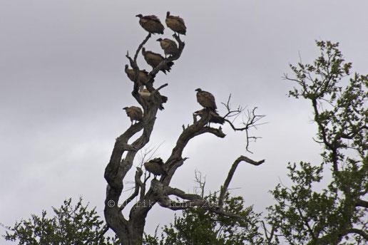 Und am Ende hockten die restlichen Geier im Baum