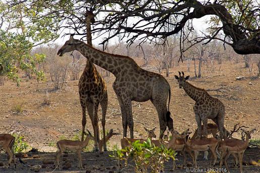 Giraffen und Impalas im Kruger Nationalpark