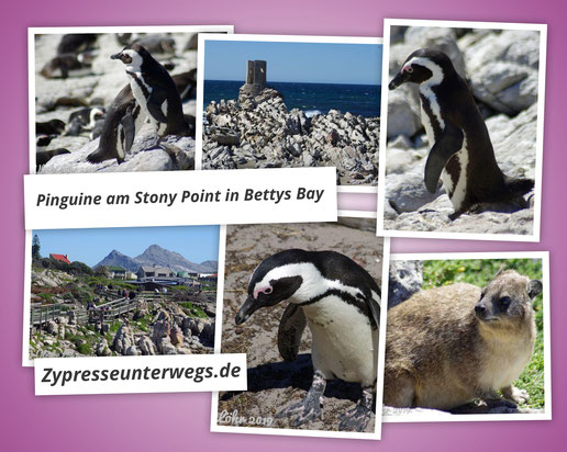 Pinguine am Stony Point in Bettys Bay