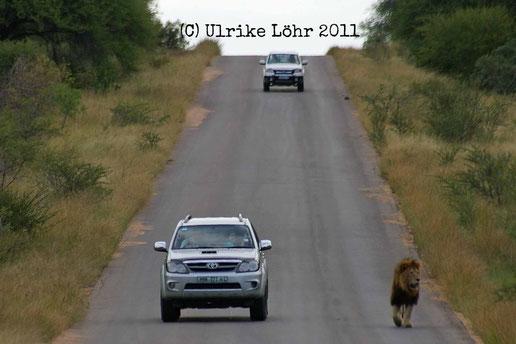 Löwe im Gegenverkehr im Kruger Nationalpark