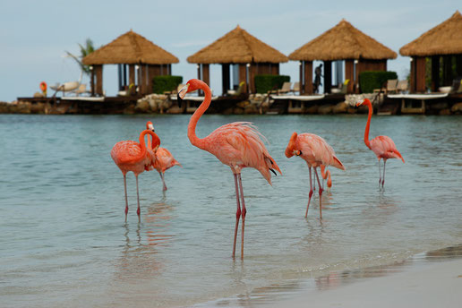 Flamingoinsel Aruba, Renaissance Island Aruba, Flamingos Karibik