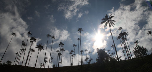 The hills in Cocora Valley were full with waxpalms, an endemic species in Colombia.