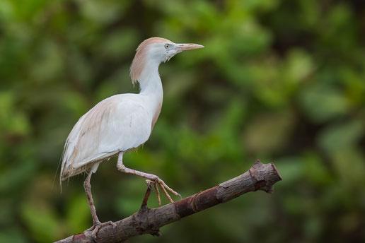Héron gardeboeufs oiseau Sénégal Afrique Stage Photo J-M Lecat Non libre de droits