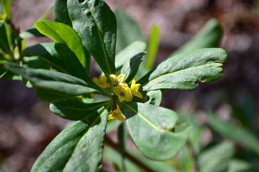 この山の特質すべき花は、このナニワズです