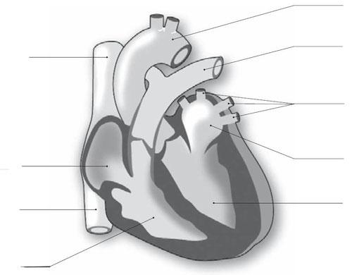 Schéma du coeur sur lequel vous devez ajouter les flèches de la