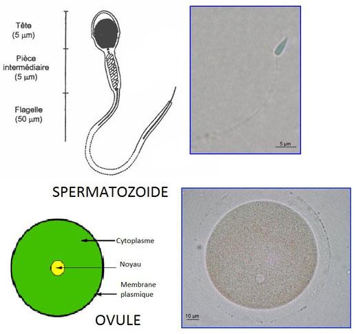 Schémas et microphotographies des cellules reproductrices mâle (spermatozoide) et femelle (ovule).