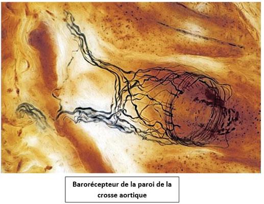 Le barorécepteur correspond aux fibres noires sur la microphotographie. Elles encerclent l'artère et perçoivent les variations de la pression artérielle. Source : ?