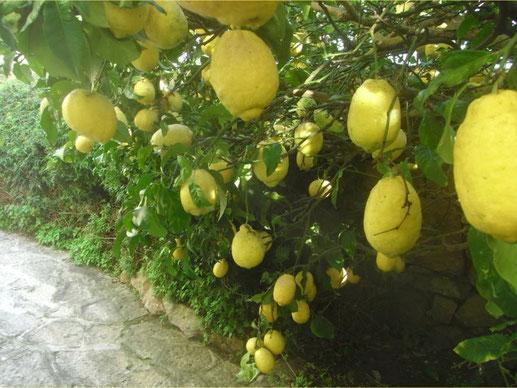 Portugisische Zitronen aus dem eigenen Garten: Damit fing ZitronenTraum an.