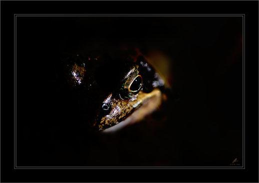 Das Auge/ Grasfrosch