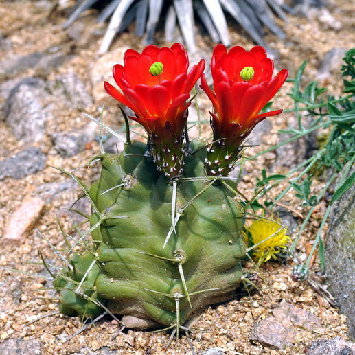 Echinocereus triglochidiatus CR 706