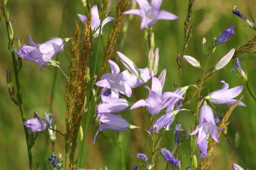 Die Wiesen-Glockenblume (Campanula patula L.) gehört zur Flora des Naturschutzgebiets Magertriften; Juni 2019