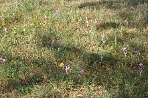 Der letzte Schmuck der Wiesen, die Herbstzeitlose (Colchicum autumnale); August 2018