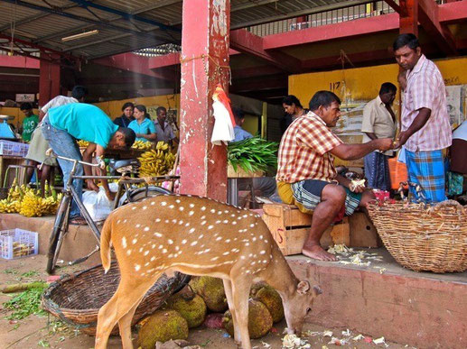 Hirsche, Deer Trincomalee, Sri Lanka