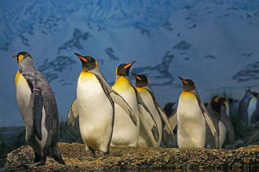 ペンギンの群れ。コミュニケーション。