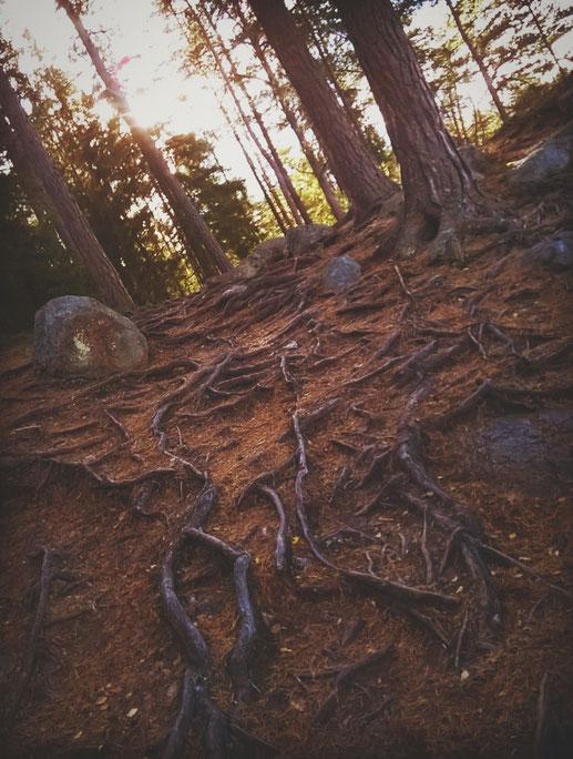 forêt suède parc lac arbres racines