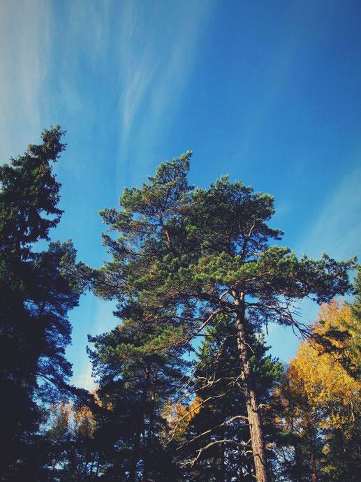 suède bigousteppes forêt arbre ciel bleu