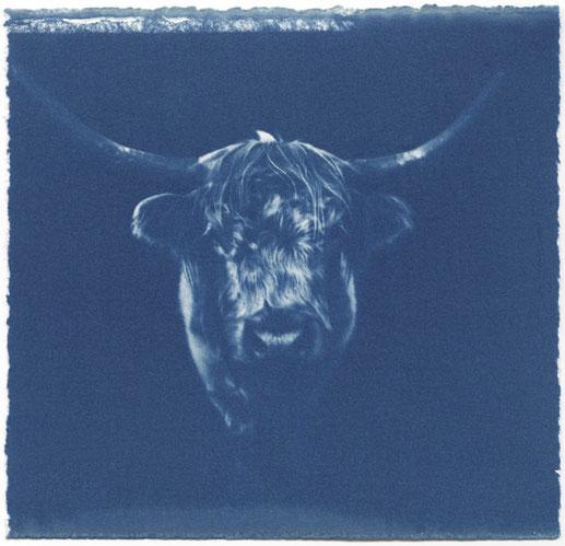 Eliana Bürgin | Hochlandrind, Cyanotypie auf  Zerkall Bütten 250 g/m2. Belichtung: Sommer Mittagssonne ca. 15 Minuten, 2014.