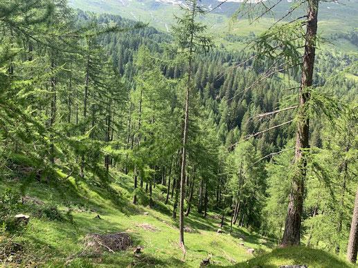 In diesem Lärchenwald von Kantonaler Bedeutung ist Ihr Einsatz willkommen. Fragen Sie an für den Herbst 2020 oder für 2021!
