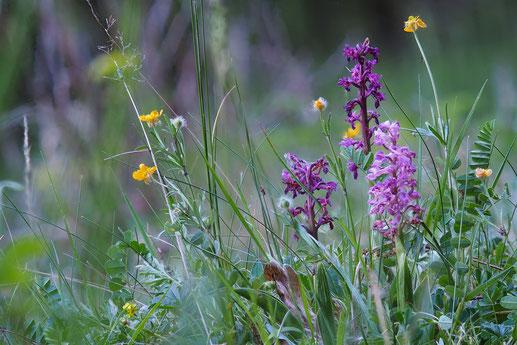 Mannsknabenkraut (Orchis mascula) auf dem Bausenberg (Foto: Stefan Blank)