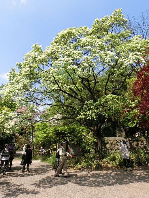 5月1日(2015) なんじゃもんじゃ:モクセイ科のヒトツバタゴ。なんじゃもんじゃは、名前のわからない木が呼ばれた別称。花期は短く、プロペラのような白い花が散っていきます。 4月26日、深大寺境内にて
