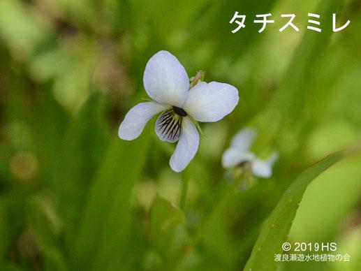 画像:渡良瀬遊水地のタチスミレ