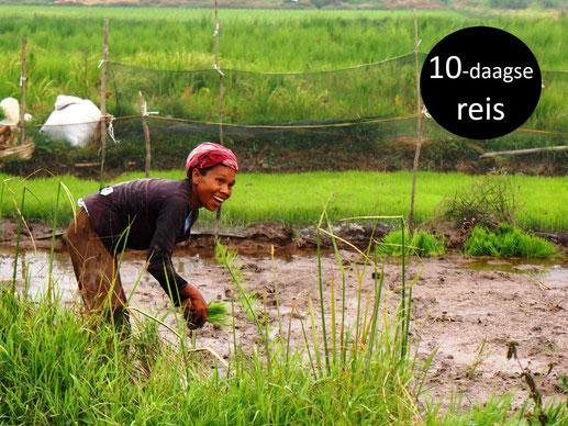 Goedlachse vrouw aan het werk in een rijstveld op Sumatra