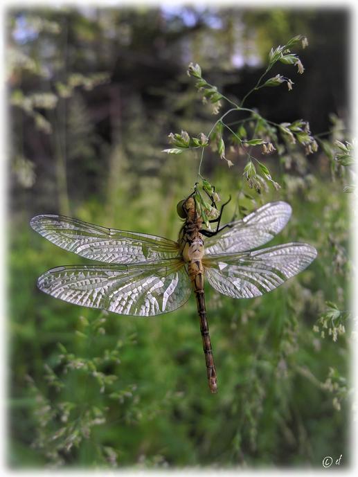Die Libelle ist ein wenig zu schwer für den Grashalm