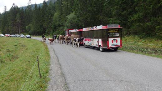Manchmal fahren auch Kühe mit dem Bähnle :-)