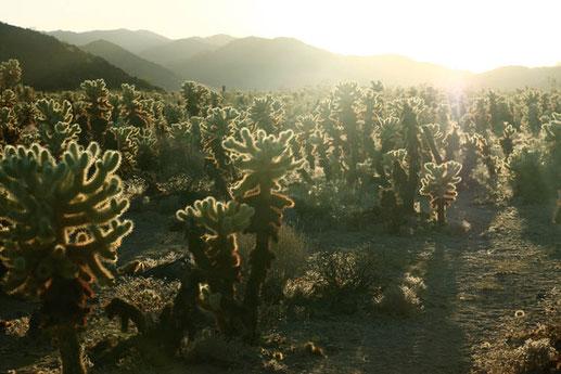 Wenn Freunde sterben, Freunde in Amerika, Cholla Cactus Garden Joshua Tree