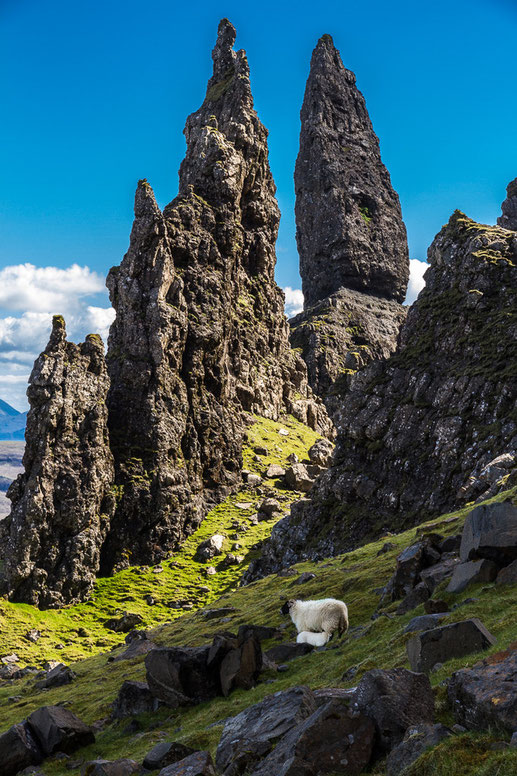 Bild: Schafe am Old Man of Storr (Schottland, Skye)