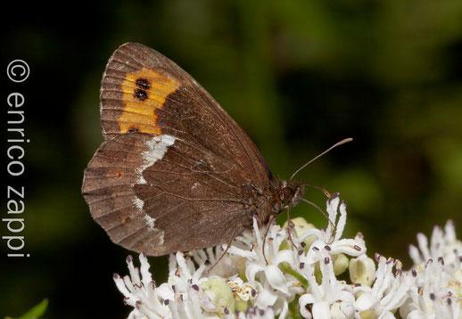 Erebia sp.: una farfalla sempre piacevole da osservare.