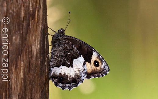 Hipparchia fagi (Scopoli 1763) farfalla estremamente mimetica nel sottobosco e comunque nell'habitat boschivo dove la si può ritrovare fino a c.a. 1700 m. di quota.